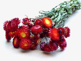 Strohblumen rot