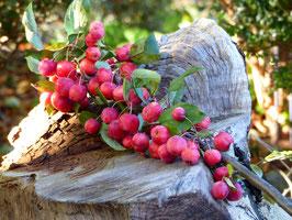 Apfelzweige