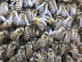2021 二ホンミツバチ 分蜂群  予約