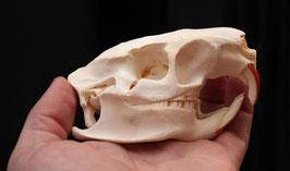 Cráneo ( Myocastoridae ) skull