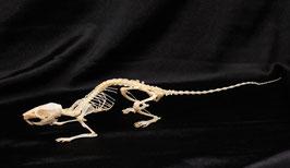 Esqueleto rata (Rattus) Rat skeleton