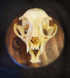 Cráneo Gato (Felis Catus) Cat Skull