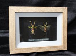 Mantodea Creobroter Gemmatus: enmarcado / framed