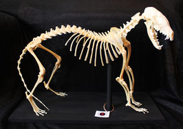 Precioso esqueleto de zorro / Beautiful fox skeleton