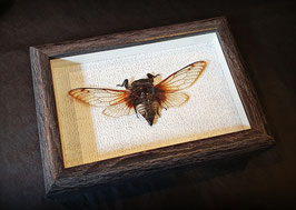 Cigarra (Cicadidae: cryptotympana acuta) Cicada - enmarcado / framed