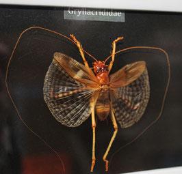 Gryllacrididae: enmarcado / framed