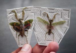 Mantodea: Creobroter Gemmatus (pareja - couple)
