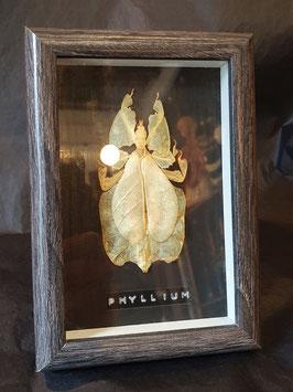 PHYLLIIDAE - PHYLLIUM enmarcado / framed