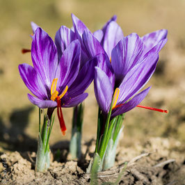 Lot de 10.000 bulbes de crocus sativus calibre 9/14 à 0,40 € le bulbe.