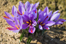 Lot de 5000 bulbes de crocus sativus calibre 7/8 à 0,30 € le bulbe.