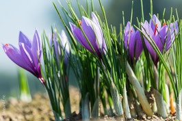 Lot de 25.000 bulbes de crocus sativus calibre 7/8 à 0,25 € le bulbe.