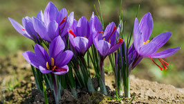 Lot de 100 bulbes de crocus sativus calibre 9/14 à 0,90 € le bulbe.