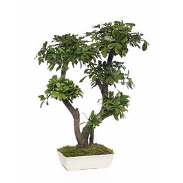 BONSAÏ PITTOSPORUM TOBIRA STABILISÉ GRAND