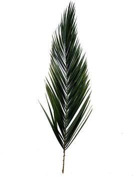 PALME DE PHOENIX STABILISÉE X1