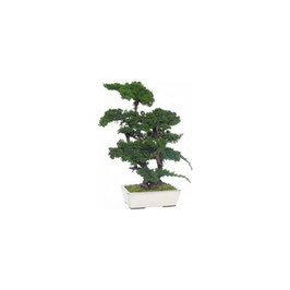 BONSAÏ JUNIPERUS STABILISÉ GRAND