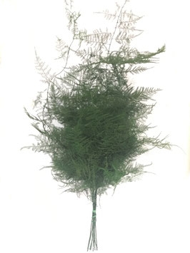 Asparagus Plumosus Vert stabilisé