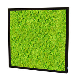 50x50 Tableau lichen stabilisé vert citron