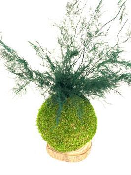 Kokedama Asparagus stabilisé