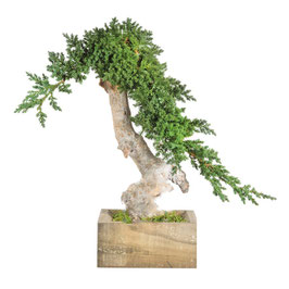 BONSAÏ JUNIPERUS SIMPLE VINE ROOT STABILISÉ
