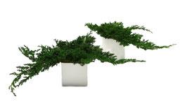 Juniperus stabilisé x1 branche