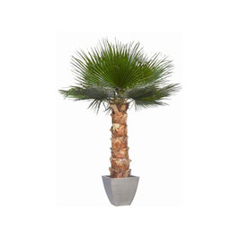 PALMIER WASHINGTONIA STABILISÉ