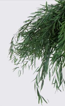Eucalyptus Nicoly Stabilisé
