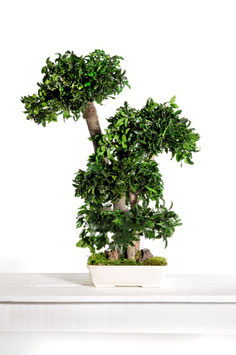BONSAÏ PITTOSPORUM STABILISÉ GRAND