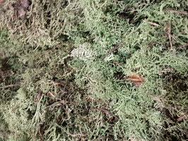 Lichen Scandinave stabilisé  sans tête vert FORET