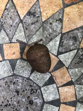 Eicheln, kakaofarben -klein- 2er Set