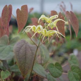 Epimedium lishihchenii Og96024