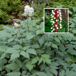 Actaea pachypoda 'Misty Blue' - White Baneberry