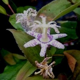 Tricyrtis affinis BSWJ11063