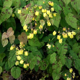 Epimedium x hybr. 'Sunny and Share'
