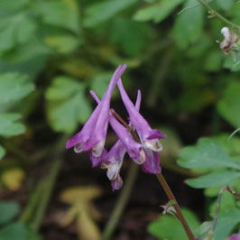 Corydalis shihmienensis 'Blackberry Wine'