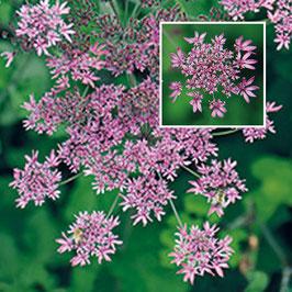 Heracleum spondylium 'Pink Cloud'