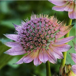 Astrantia major 'Florence'