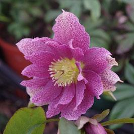 Helleborus x orientalis 'Spring Princess'