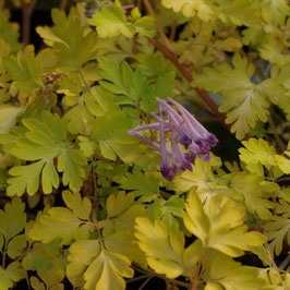 Corydalis shihmienensis 'Berry Exciting'