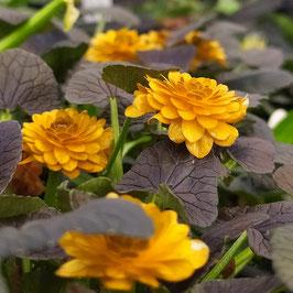 Ranunculus ficaria 'Jaqueline'