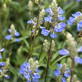 Salvia uliginosa - Pepper Sage, Bumblebee Swing
