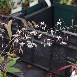 Epimedium pubescens 'Blütentanz'