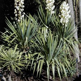 Yucca recurvifolia