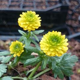 Ranunculus montanus 'Miss Austria'