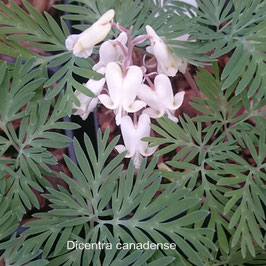Dicentra canadense - Canadian Bleeding Heart