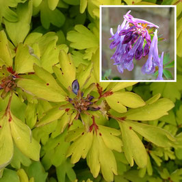 Corydalis elata x flexuosa 'Golden Spinners'