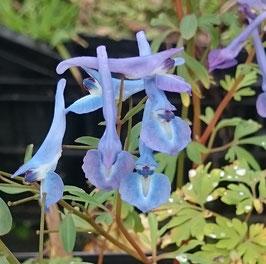 Corydalis flexuosa x cashmeriana 'Kingfisher'