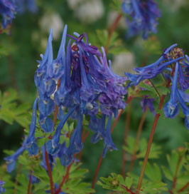Corydalis flexuosa x omeiana 'Craigton Blue'