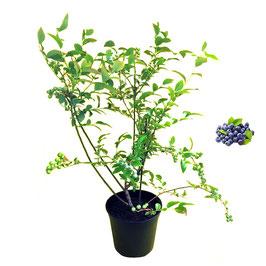 "Mirtillo Americano gigante ""Duke"" | 1 pianta in vaso cm. 16"