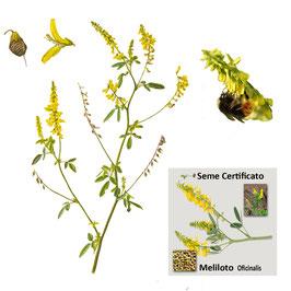 Meliloto officinale Giallo kg. 1 ( melilotus officinalis)