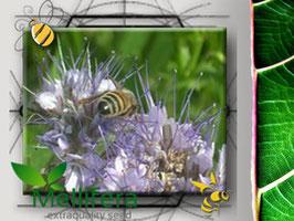 Facelia (Phacelia Tanacetifolia)